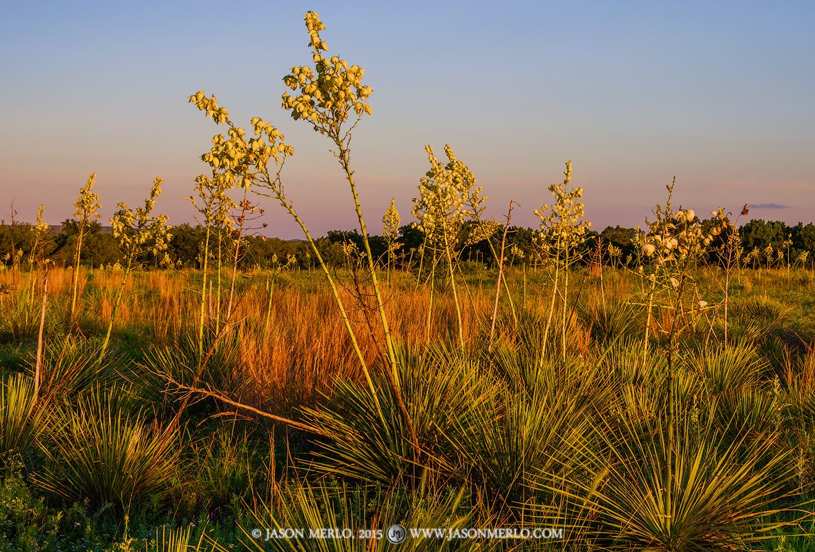 Lampasas County, Texas Cross Timbers, Buckley yucca, Yucca constricta, photo