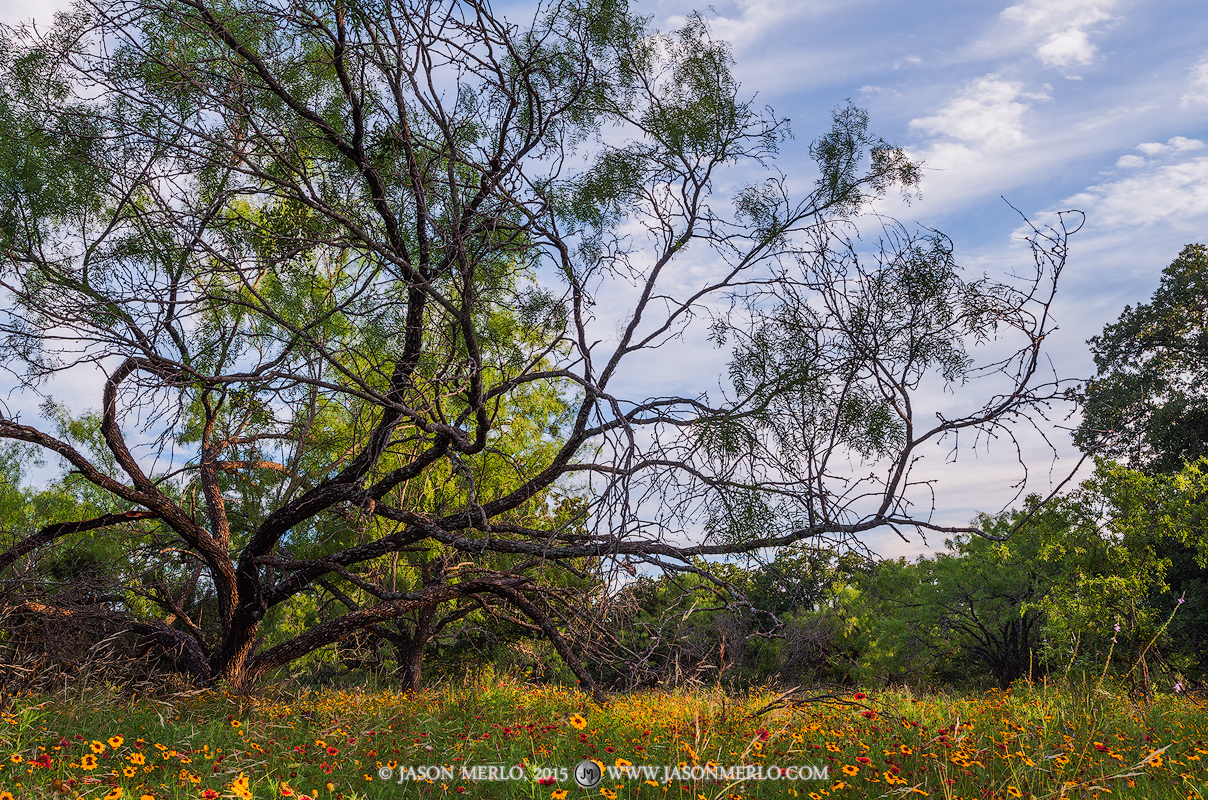 A mesquite tree (Prosopis glandulosa)hangs over a small meadow filled with wildflowers in San Saba County in the Texas Cross...