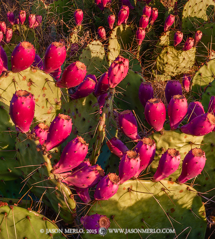 San Saba County, Texas Cross Timbers, Texas Hill Country, prickly pear, cactus, Opuntia engelmannii, tunas, photo