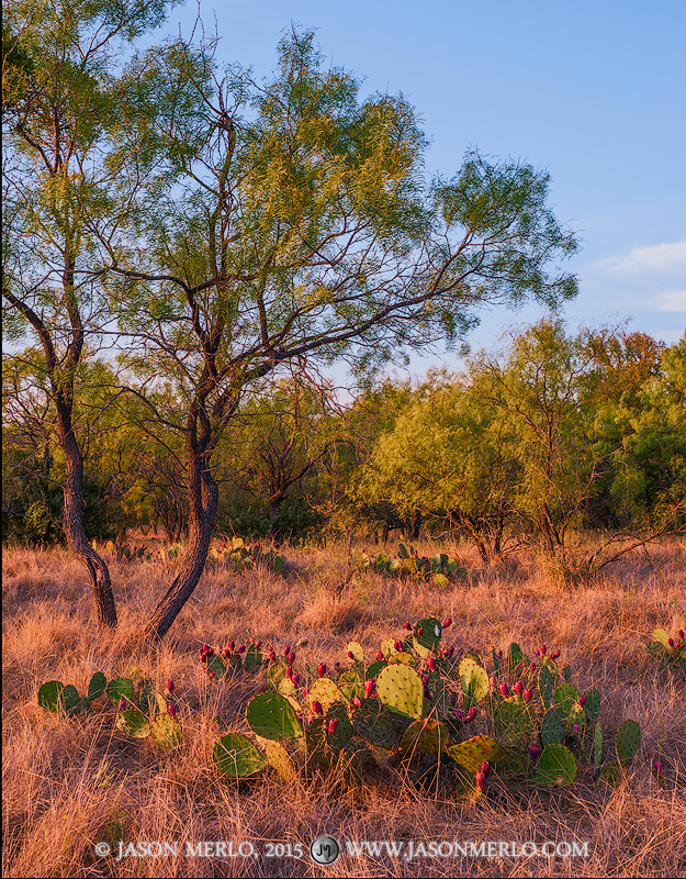 Tuna filled prickly pear cacti (Opuntia engelmannii)and mesquite trees (Prosopis glandulosa)at sunset in San Saba County...