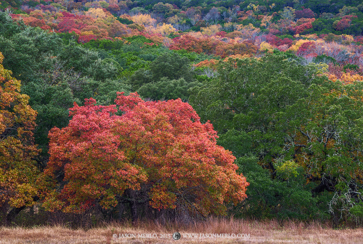 A Texas red oak (Quercus texana)making the transition to fall color at the Balcones Canyonlands National Wildlife Refuge...
