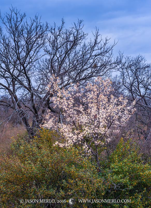 San Saba County, Texas Cross Timbers, Texas Hill Country, Mexican plum, tree, Prunus mexicana, agarita, Mahonia trifoliolata, bloom, photo