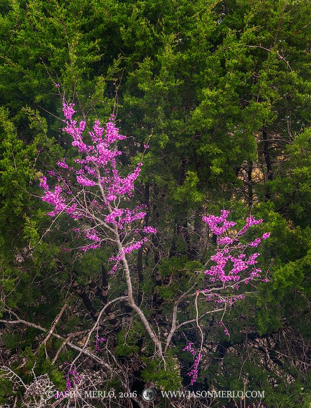 A Texas redbud tree (Cercis canadensis var. texensis) in bloom against a cedar tree (Juniperus ashei) in Blanco...