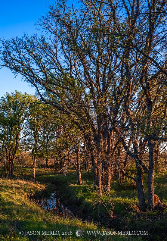 San Saba County, Texas Hill Country, Texas Cross Timbers, cedar elm, trees, Ulmus crassifolia, photo