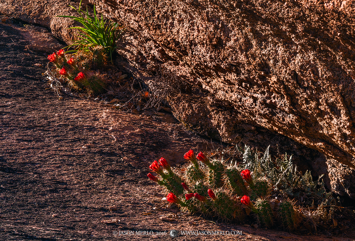 Enchanted Rock State Natural Area, state park, Texas Hill Country, Llano, Fredericksburg, Llano County, Gillespie County, Llano Uplift, claret cup, cactus, Echinocereus triglochidiatus, wildflowers, photo