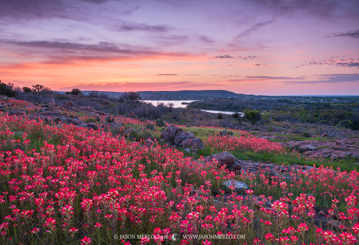 Texas paintbrushes (Castilleja indivisa) at sunset at Inks Lake State Park in Burnet County in the Llano Uplift of the&nbsp...