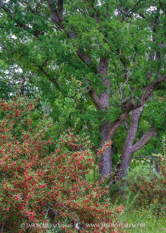 San Saba County, Texas Hill Country, Texas Cross Timbers, agarita, Mahonia trifoliolata, cedar elm, trees, Ulmus crassifolia, photo
