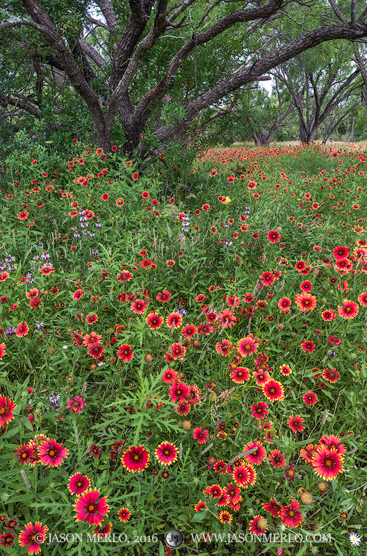 San Saba County, Texas Hill Country, Texas Cross Timbers, firewheels, Indian blankets, Gaillardia pulchella, wildflowers, photo