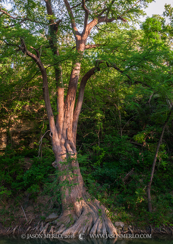 Last light on a gracefully curving cypress tree (Taxodium distichum)on the bank of Onion Creek in the Texas Hill Country...