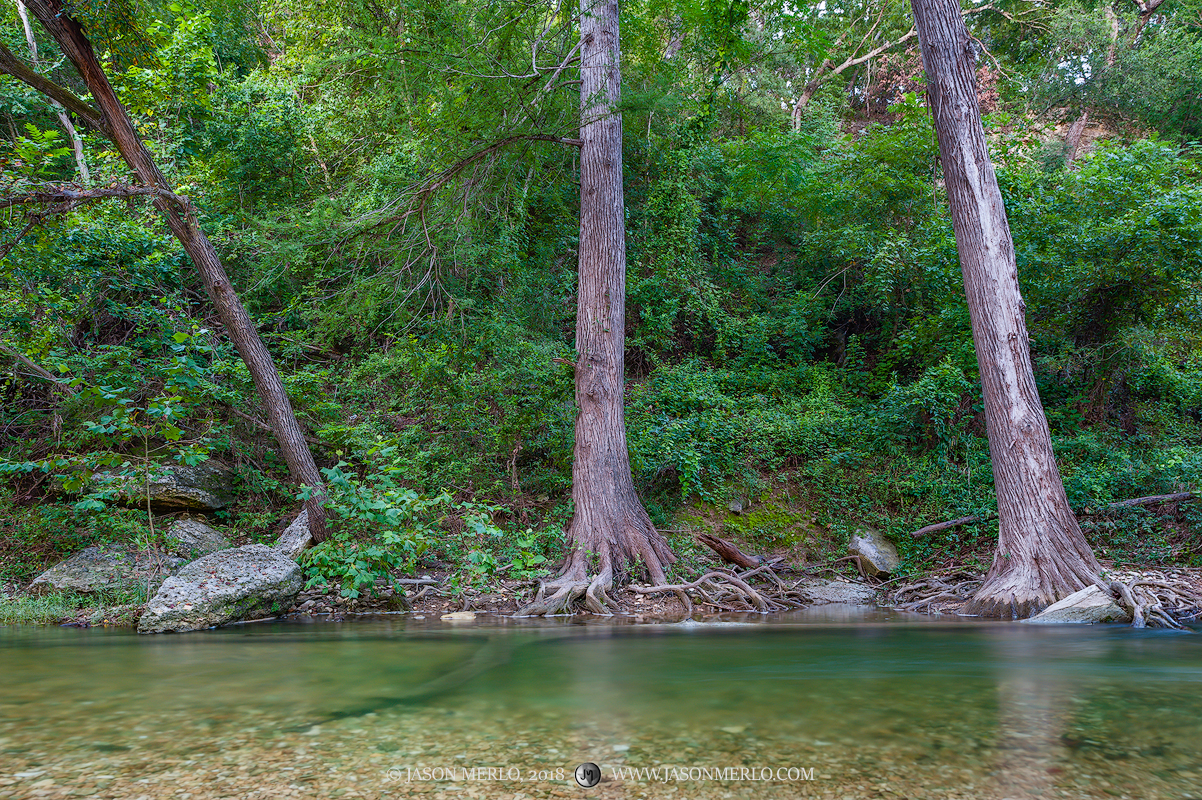 Cypress trees (Taxodium distichum) growing at the edge of a creek in the Texas Hill Country.