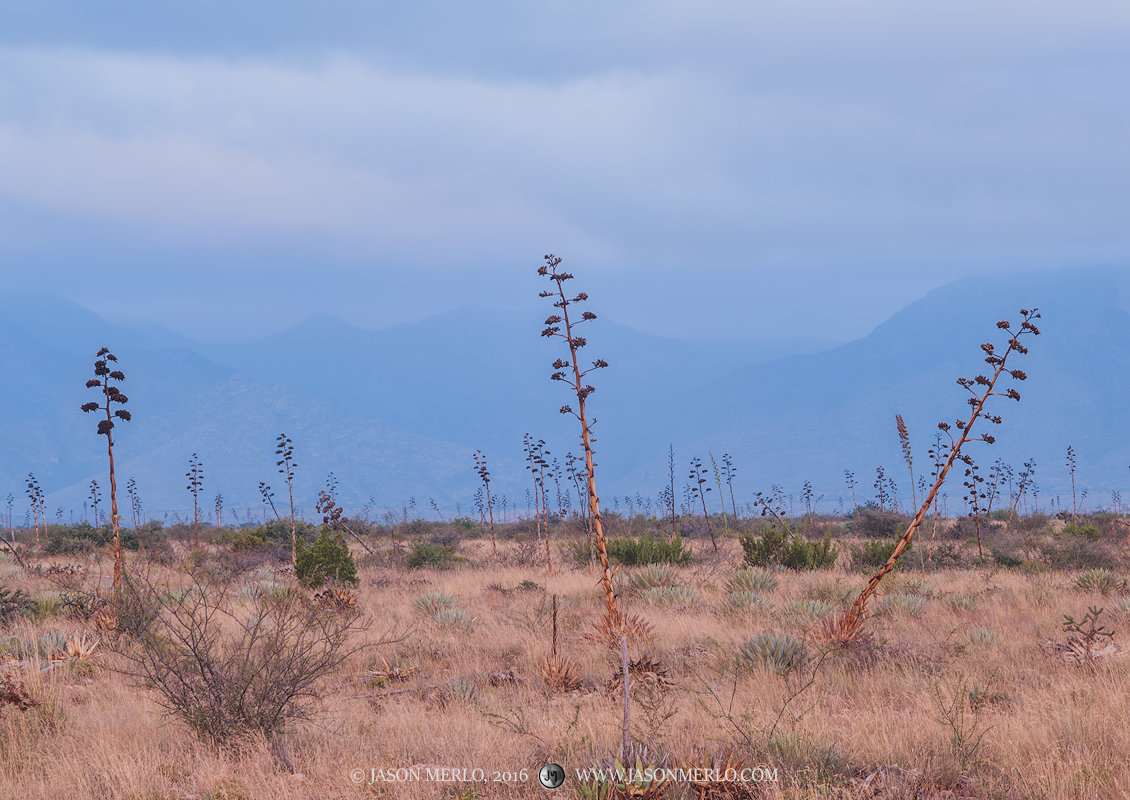 Guadalupe Mountains, West Texas, Culberson County, Chihuahuan Desert, agave, Agave havardiana, fog, photo