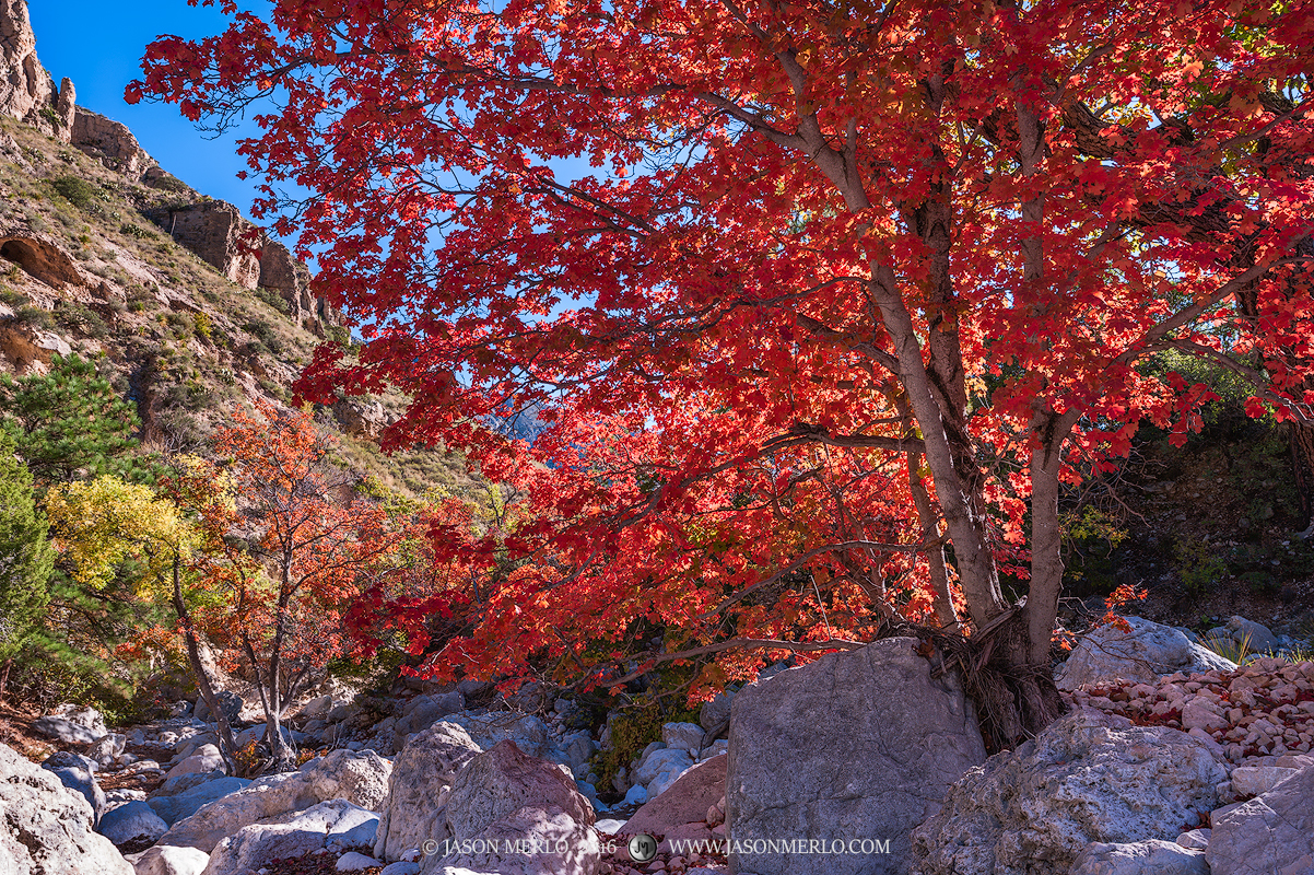 Guadalupe Mountains National Park, West Texas, Culberson County, Chihuahuan Desert, McKittrick Canyon, fall color, bigtooth maple, trees, Acer grandidentatum, photo
