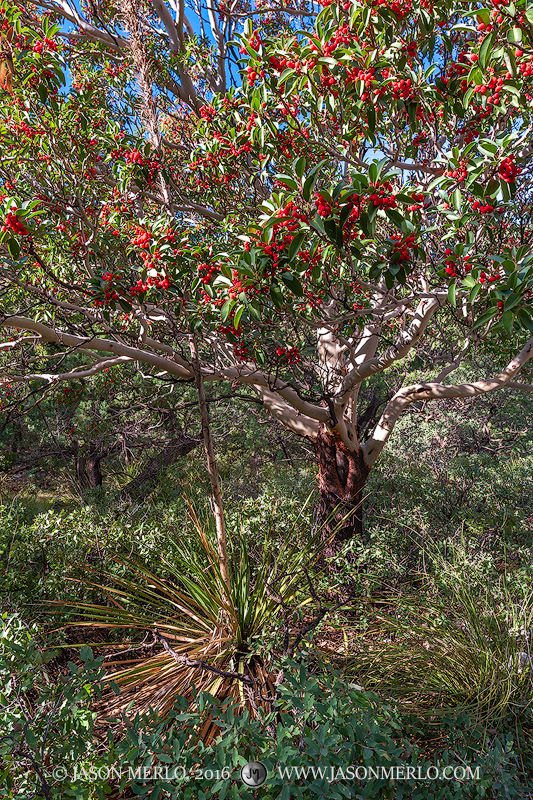 Guadalupe Mountains National Park, West Texas, Culberson County, Chihuahuan Desert, McKittrick Canyon, Texas madrone, Arbutus texana, sotol, Dasylirion texanum, photo
