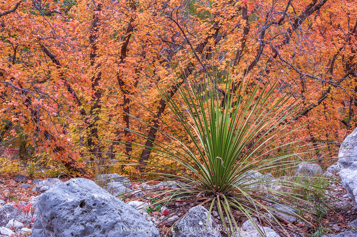Guadalupe Mountains National Park, West Texas, Culberson County, Chihuahuan Desert, McKittrick Canyon, fall color, bigtooth maple, trees, Acer grandidentatum, sotol, Dasylirion texanum, photo