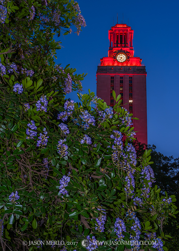 Mountain laurel and the Tower lit orange for the 2017 Swimming and Diving Big XII Championship at the University of Texas in...