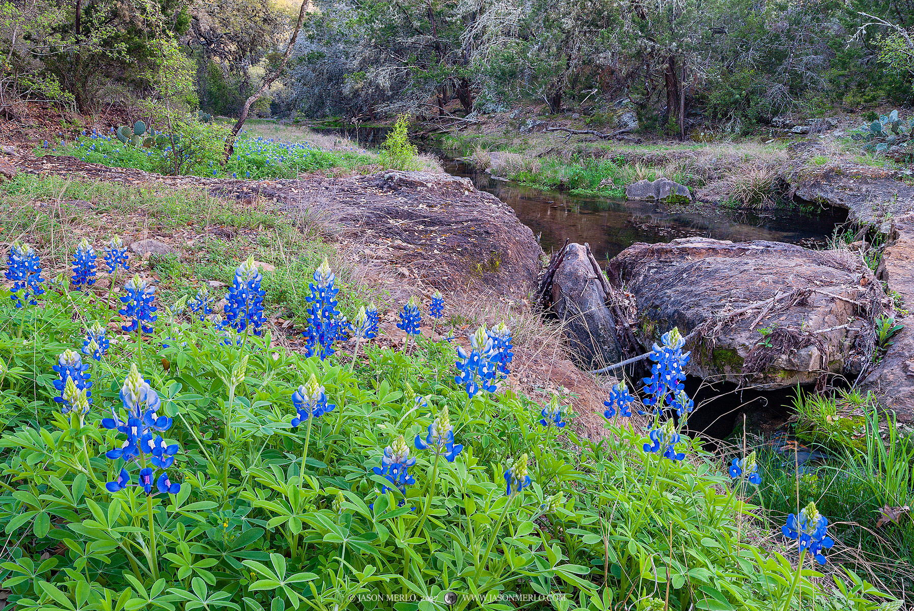 Texas Hill Country, Llano County, bluebonnets, Lupinus texensis, wildflowers, cedar, Juniperus ashei, creek, photo