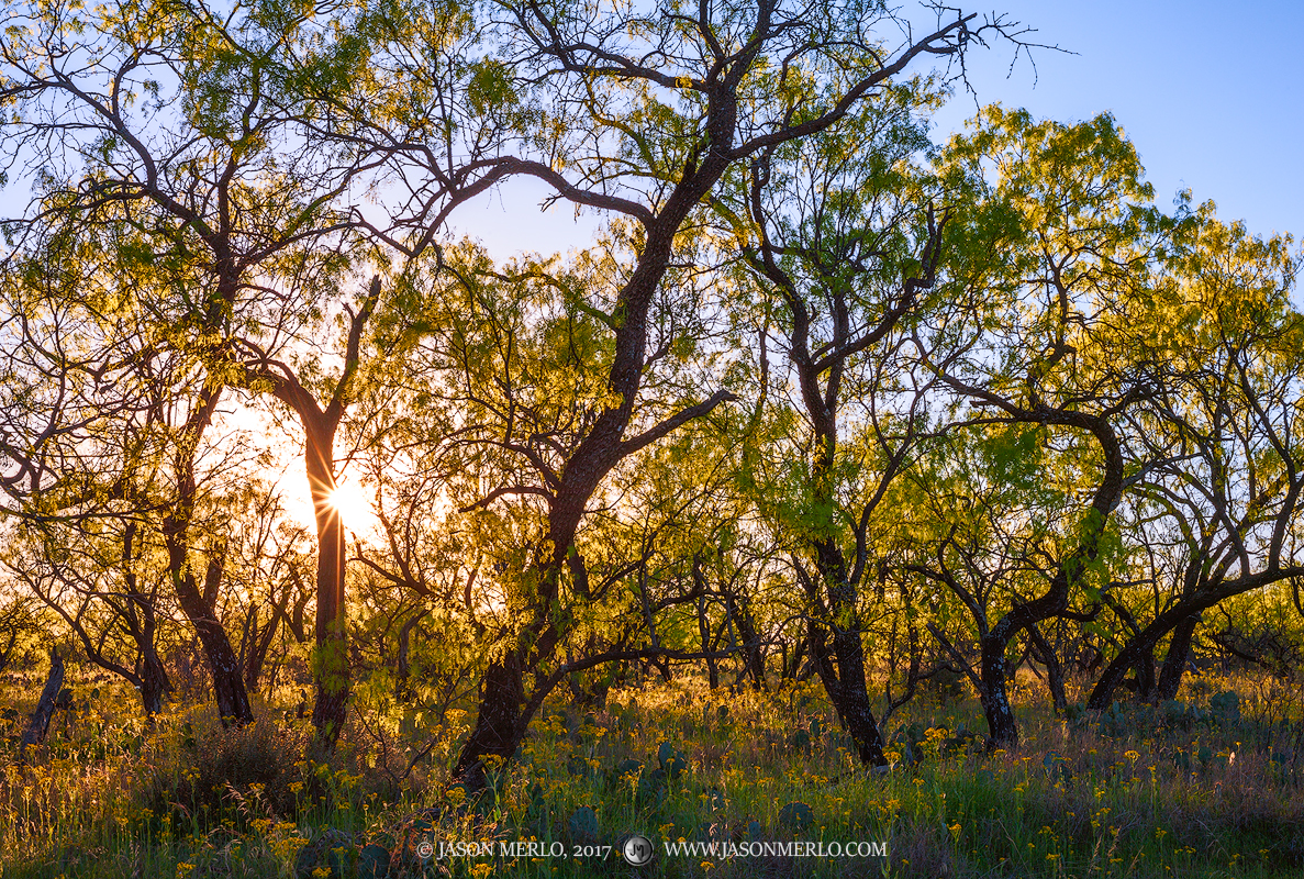 Mesquite trees (Prosopis glandulosa) and groundsel (Senecio ampullaceus) at sunset in Mason County, Texas.