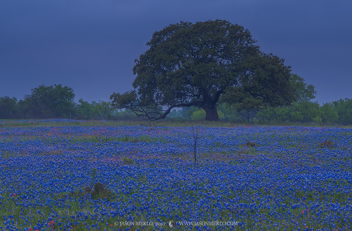 A field of Texas bluebonnets (Lupinus texensis) and a live oak tree (Quercus virginiana) on an overcast day in...