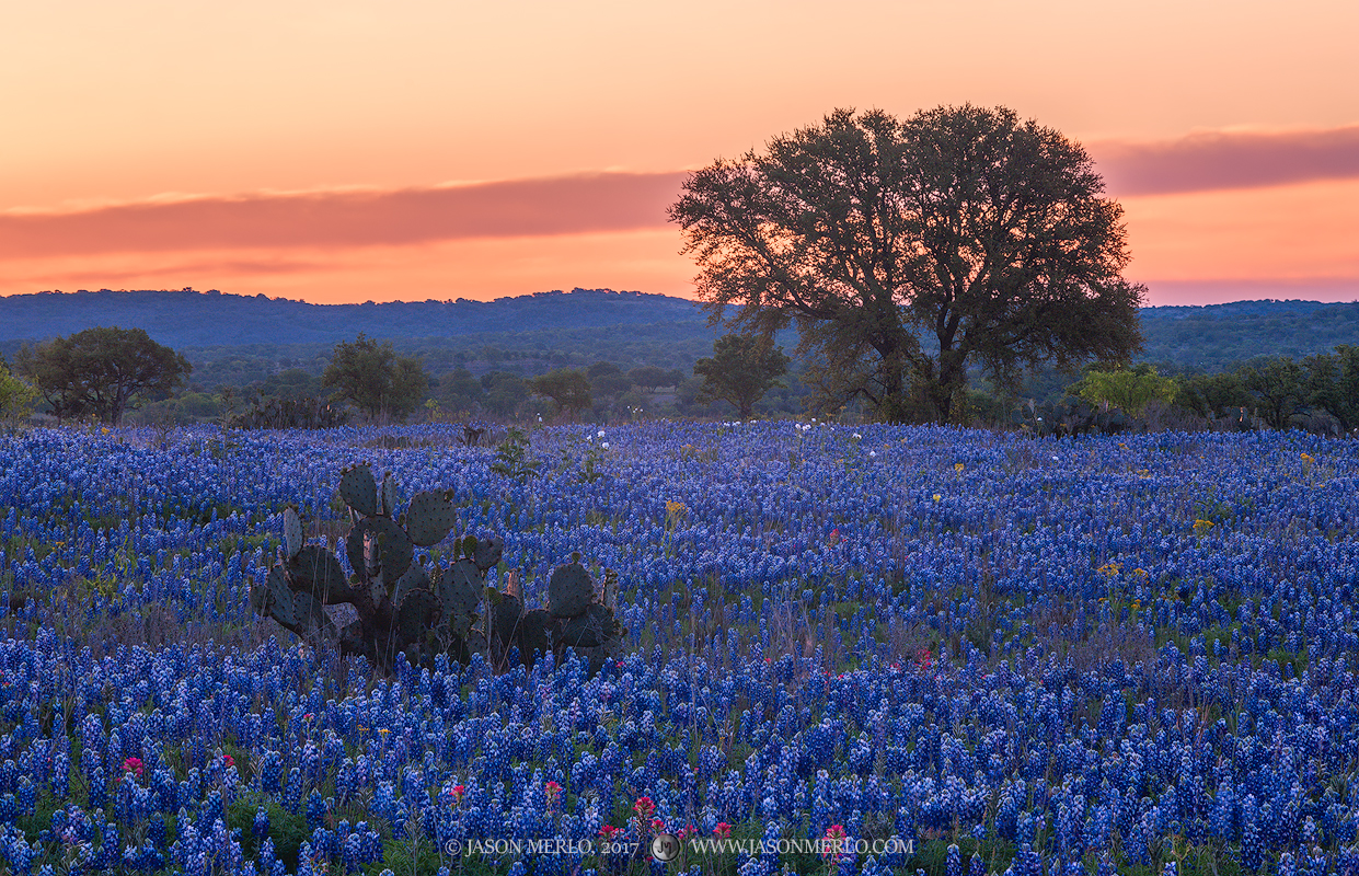 San Saba County, Texas Hill Country, sunrise, Texas bluebonnets, Lupinus texensis, Texas paintbrushes, Castilleja indivisa, wildflowers, photo
