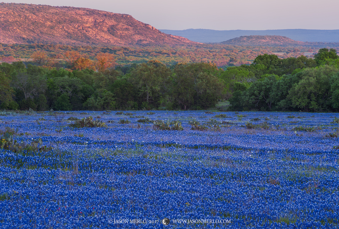 The last light of the day on the hills above a field of bluebonnets (Lupinus texensis) in San Saba County in the Texas...