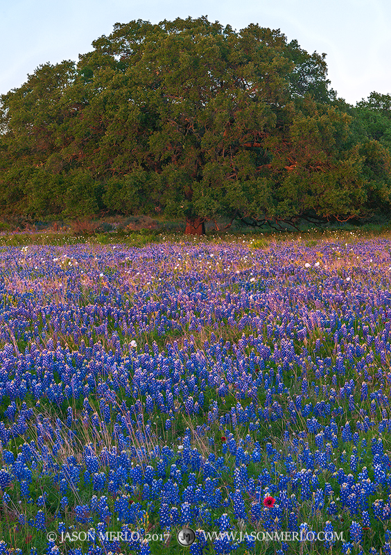 Mason County, Texas Hill Country, Texas bluebonnets, Lupinus texensis, live oak, tree, Quercus virginiana, photo
