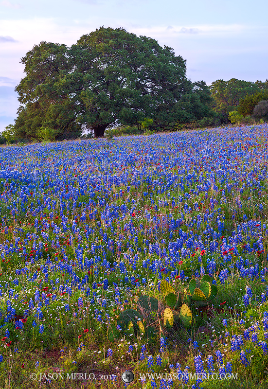 Mason County, Texas Hill Country, Texas bluebonnets, Lupinus texensis, prickly pear cactus, Opuntia engelmannii, live oak, tree, Quercus virginiana, firewheels, Gaillardia pulchella, wildflowers, photo