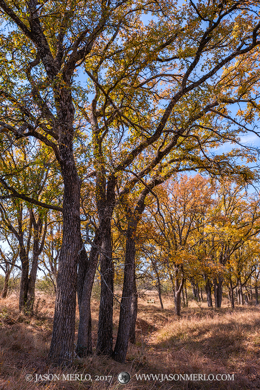 San Saba County, Texas Hill Country, Texas Cross Timbers, cedar elm, trees, Ulmus crassifolia, fall color, photo