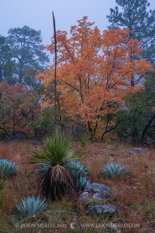 Guadalupe Mountains National Park, West Texas, Culberson County, Chihuahuan Desert, McKittrick Canyon, fall color, bigtooth maple, trees, Acer grandidentatum, agave, Agave havardiana, sotol, Dasylirio, photo