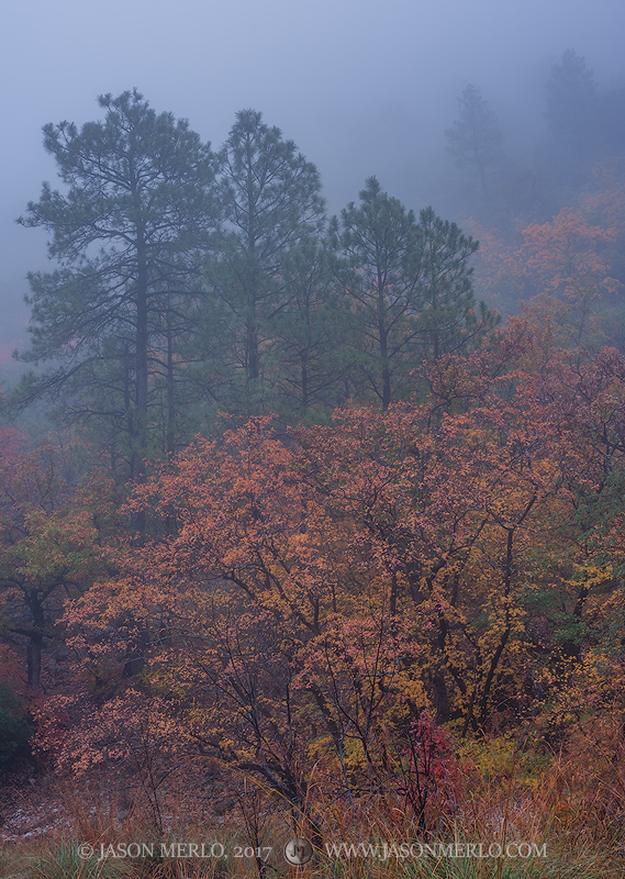 Guadalupe Mountains National Park, West Texas, Culberson County, Chihuahuan Desert, McKittrick Canyon, bigtooth maple, trees, pine, fog, Acer grandidentatum, fall color, photo