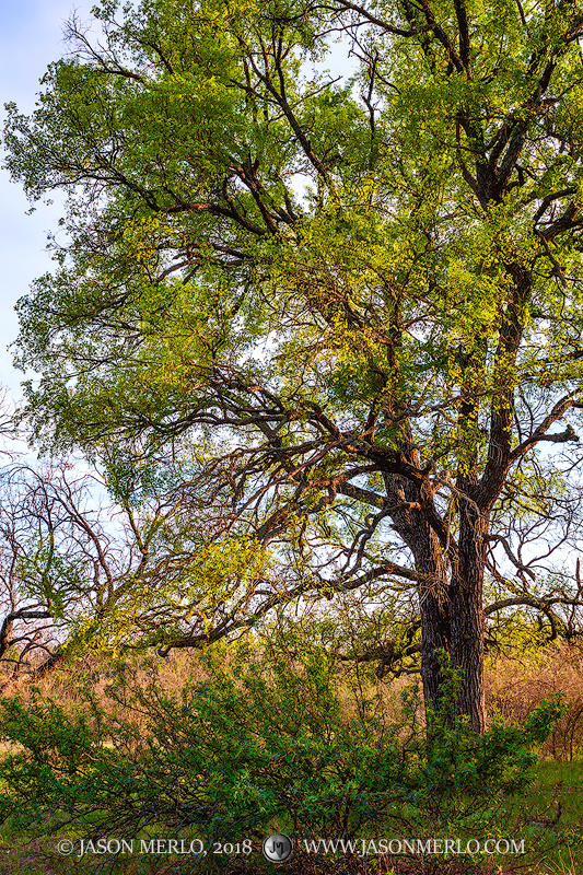 An agarita bush (Mahonia trifoliolata)beneath a cedar elm tree (Ulmus crassifolia)in early spring in San Saba County...