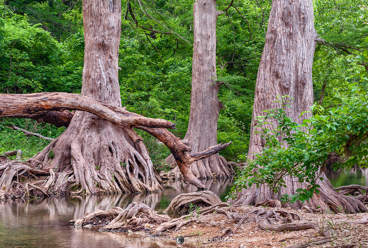 Texas Hill Country, Onion Creek, Taxodium distichum, bald cypress, photo