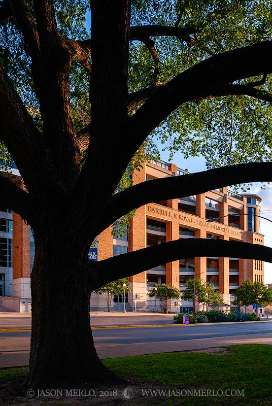 Austin, University of Texas, campus, Darrell K Royal - Texas Memorial Stadium, live oak, tree, Quercus virginiana, photo