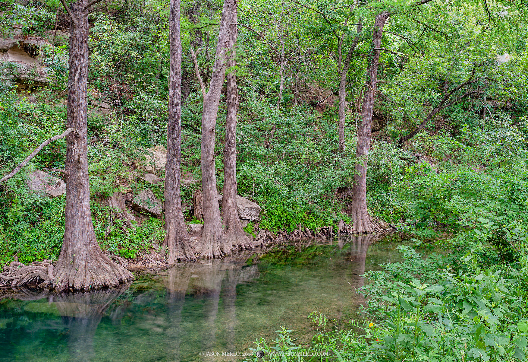 Cypress trees (Taxodium distichum) on a creek in the Texas Hill Country.
