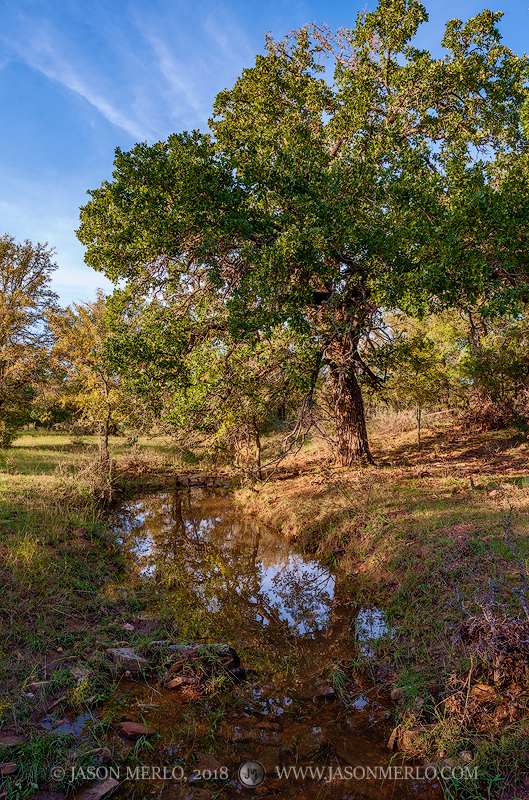 San Saba County, Texas Cross Timbers, Texas Hill Country, post oak, tree, Quercus stellata, China Creek, photo