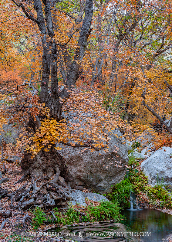 Guadalupe Mountains National Park, West Texas, Culberson County, Chihuahuan Desert, bigtooth maple, trees, Acer grandidentatum, Smith Spring, fall color, photo