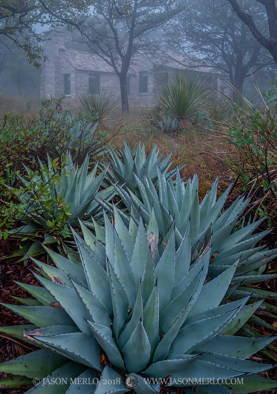 Agaves (Agave havardiana)beneath Wallace Pratt's Stone Cabin in McKittrick Canyon at Guadalupe Mountains National Park...