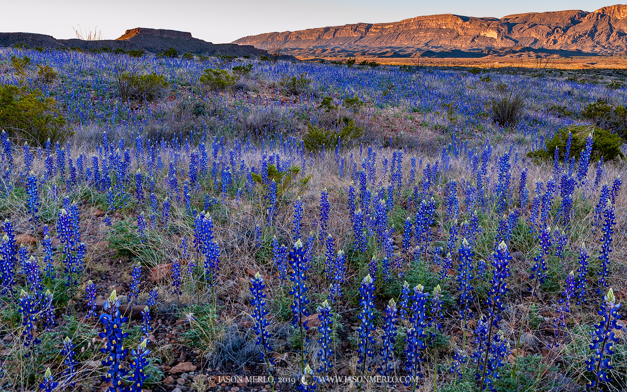 2019022402, Big Bend bluebonnets and the Sierra Ponce at sunrise