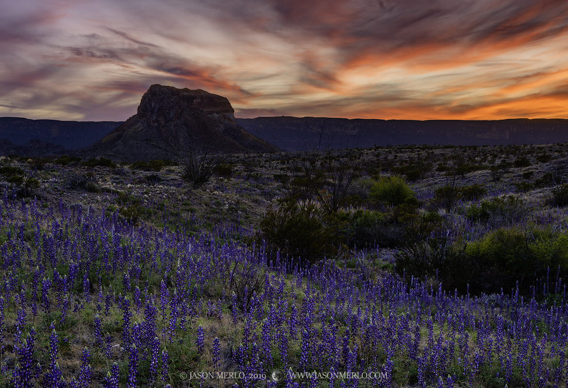 Big Bend National Park, Brewster County, West Texas, Chihuahuan Desert,  Lupinus havardii, Big Bend Bluebonnet, Cerro Castellan, Castolon Peak, Sierra Ponce, sunset, photo