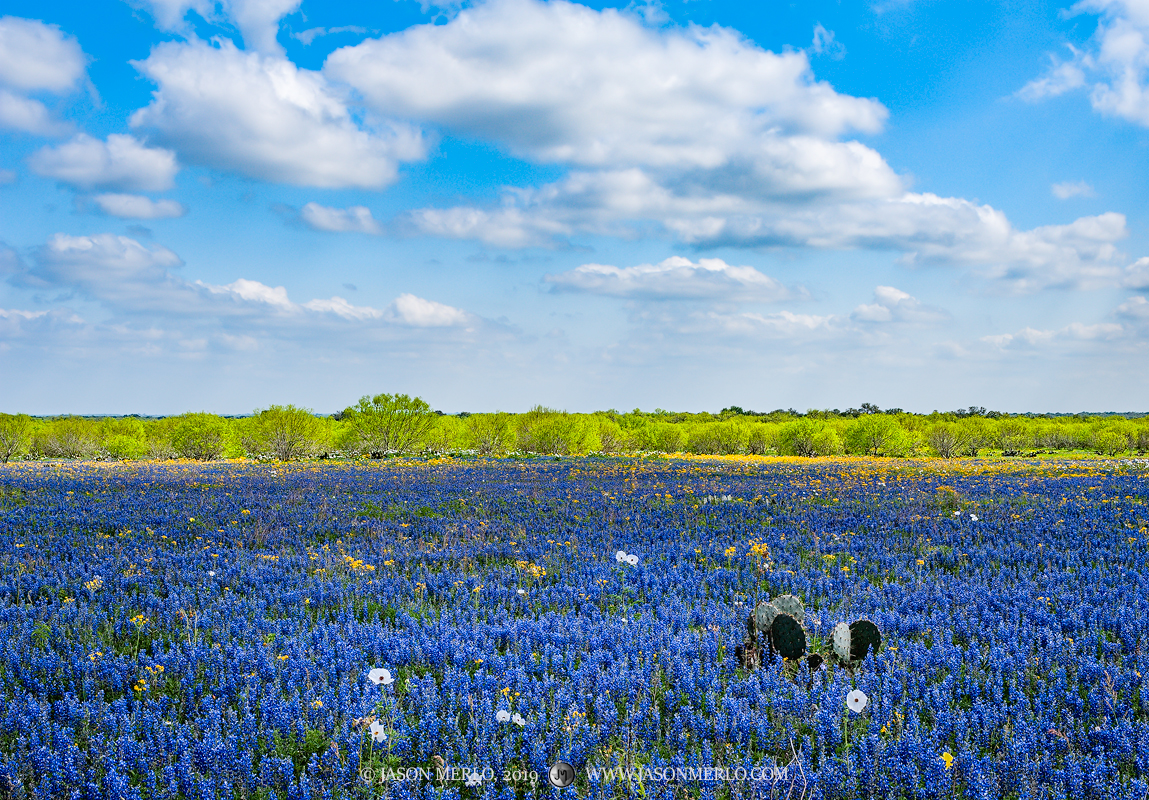 Atascosa County, South Texas, sandyland bluebonnet, bluebonnet, Lupinus subcarnosus, wildflowers, mesquite, tree, Prosopis glandulosa, Poteet, photo