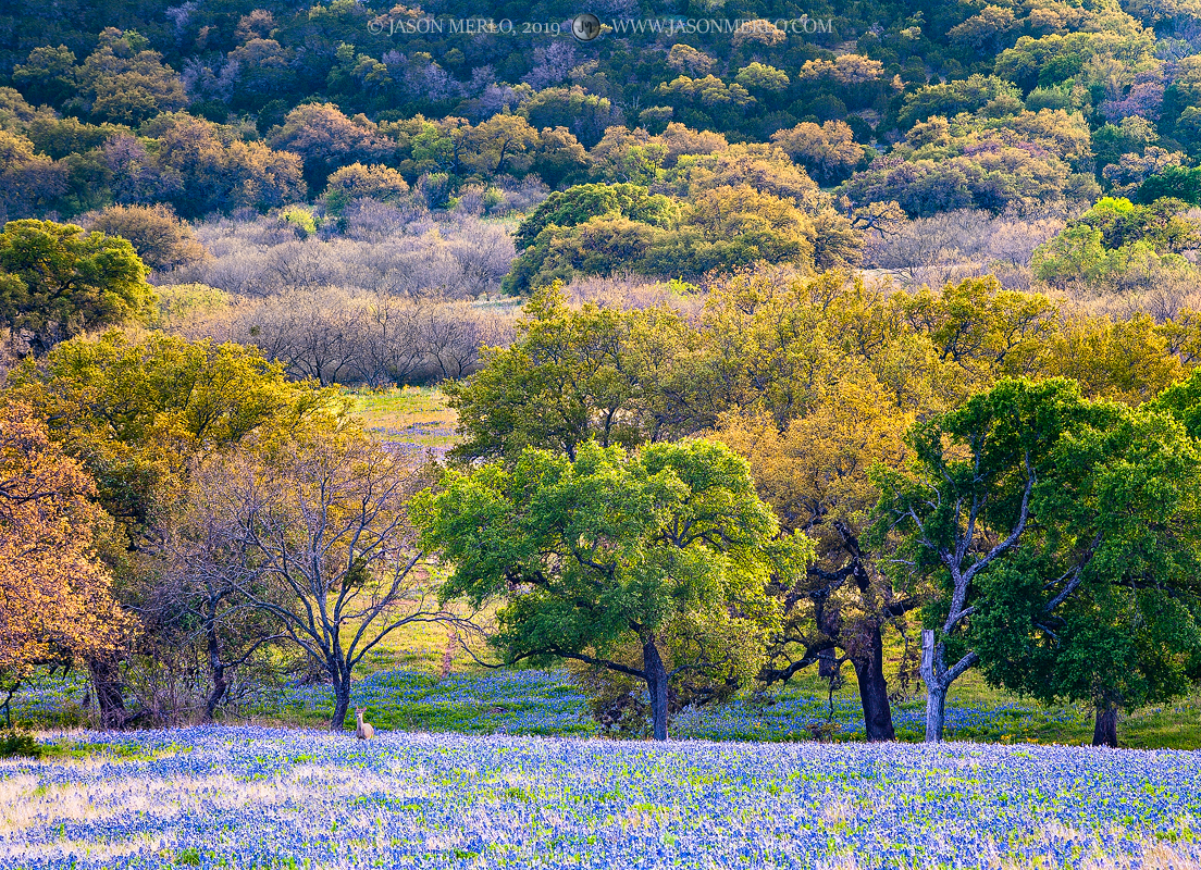 Llano County, Texas Hill Country, Texas bluebonnets, Lupinus texensis, wildflowers, whitetail deer, Odocoileus virginianus, photo
