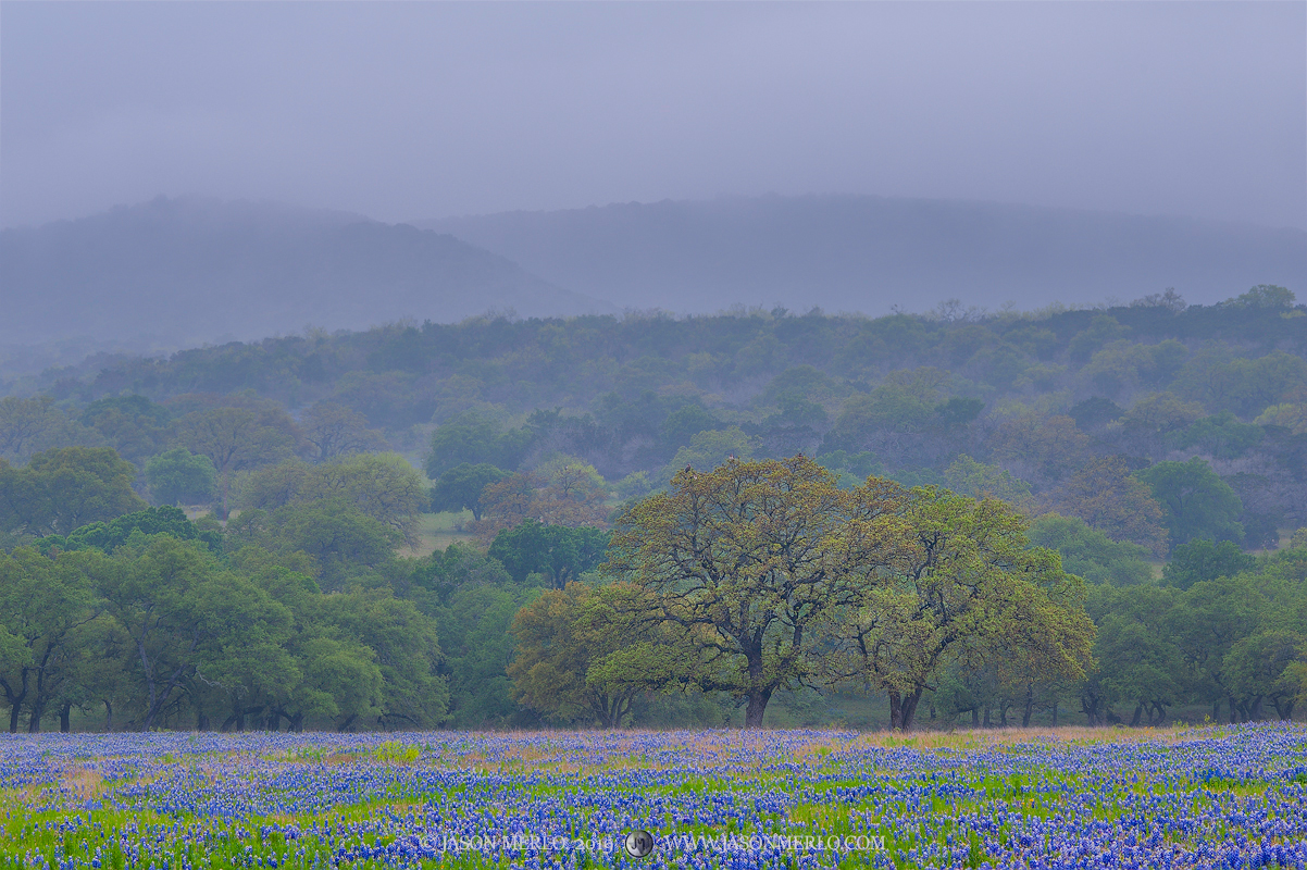 Texas bluebonnets (Lupinus texensis)and a pair of live oak trees (Quercus virginiana) beneath fog covered hills on a rainy...