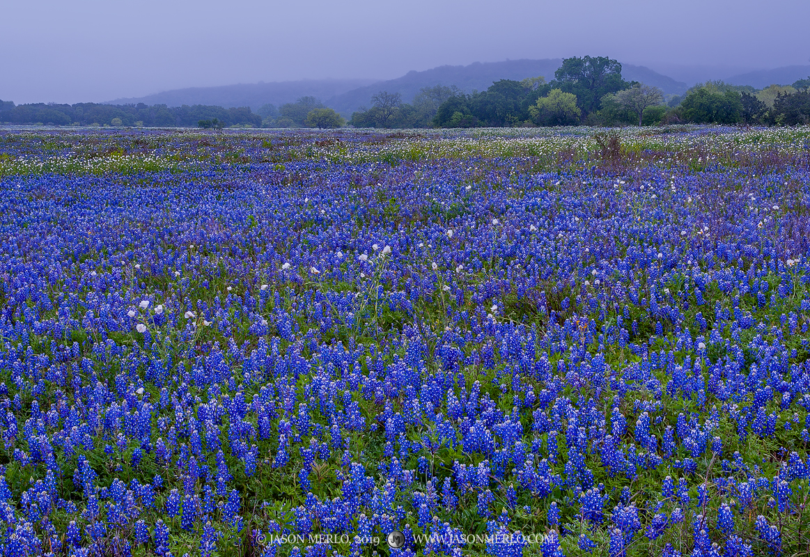 Llano County, Texas Hill Country, Lupinus texensis, wildflowers, bluebonnet, hills, fog, photo