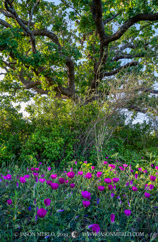 Winecups (Callirhoe pedata) under a post oak tree (Quercus stellata) at sunset in San Saba County in the Texas Cross Timbers...