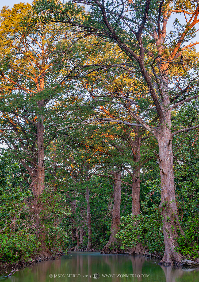 Cypress trees on a creek at sunrise in Hays County in the Texas Hill Country.