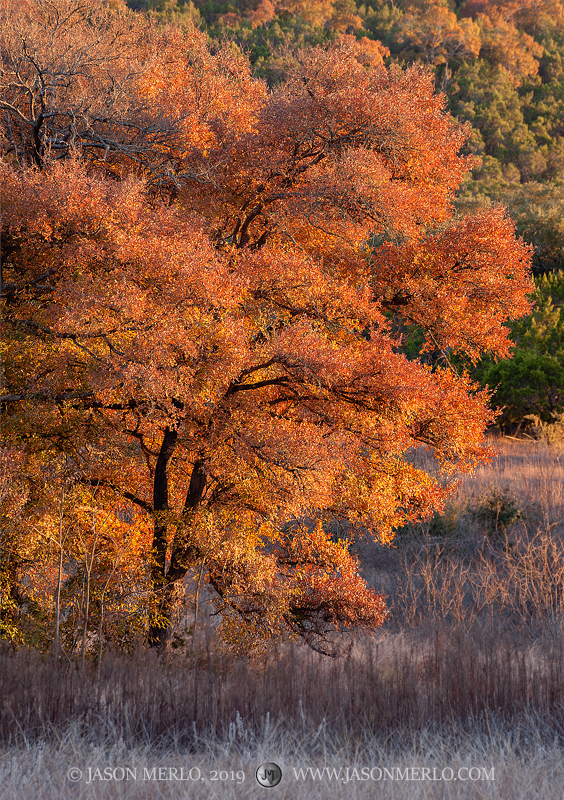Late afternoon light on a cedar elm tree (Ulmus crassifolia) in fall color at Balcones Canyonlands National Wildlife Refuge in...