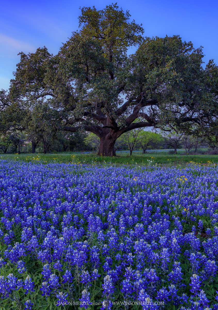 Mason County, Texas Hill Country, Lupinus texensis, bluebonnets, flowers, wildflowers, live oak, Quercus virginiana, tree, photo