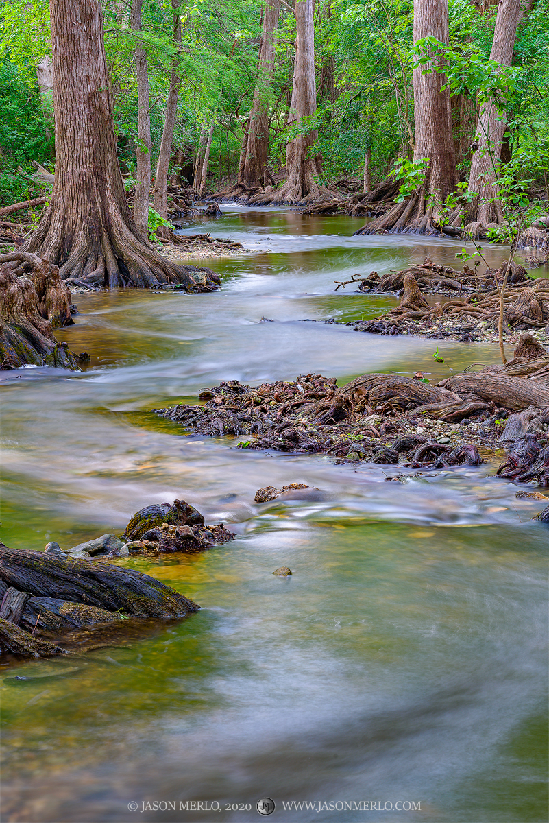 Cibolo Creek winds through cypress trees (Taxodium distichum) in Kendall County in the Texas Hill Country.