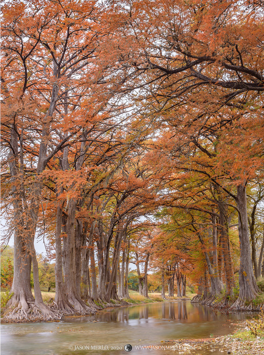 Cypress trees (Taxodium distichum) in fall color on the Guadalupe River in Kendall County in the Texas Hill Country.