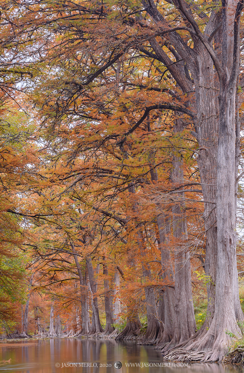 Kendall County, Texas Hill Country, Guadalupe River, Taxodium distichum, bald cypress, trees, fall, autumn, fall foliage, photo