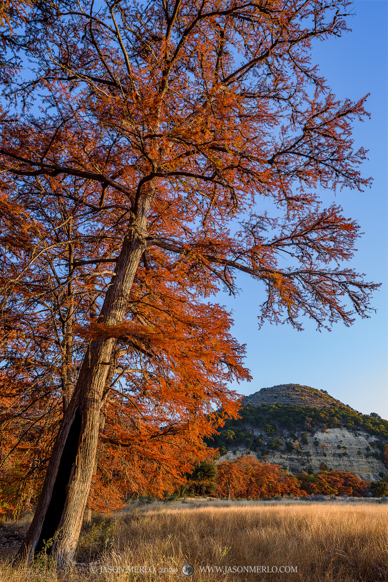 A cypress tree (Taxodium distichum) in fall color at sunset towers over a field in Real County in the Texas Hill Country.